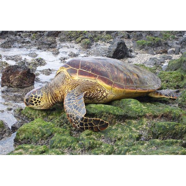 Endangered Sea Turtles: Why  Are They Endangered & How You Can Help Save Them