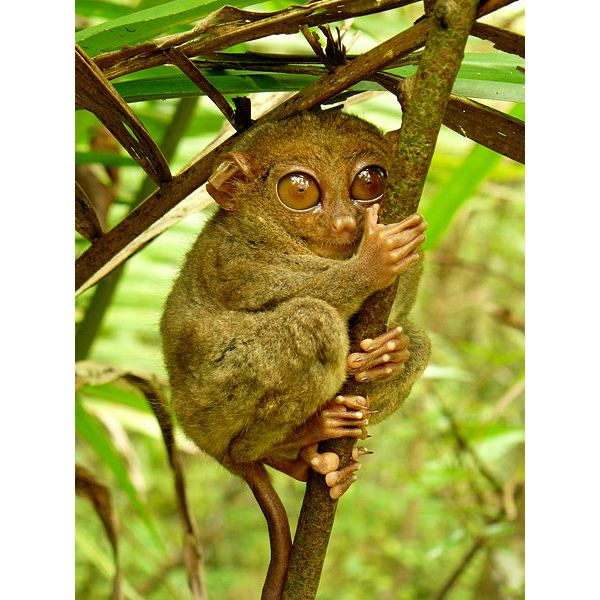 Picture of the Philippine Tarsier