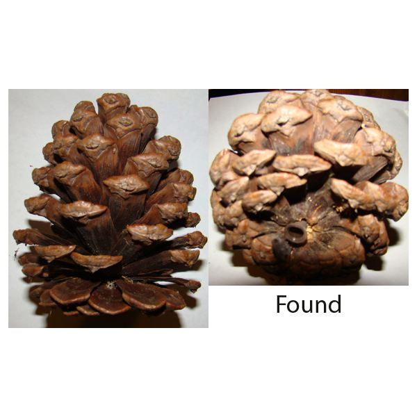 Geocaching Containers: Pine Cone