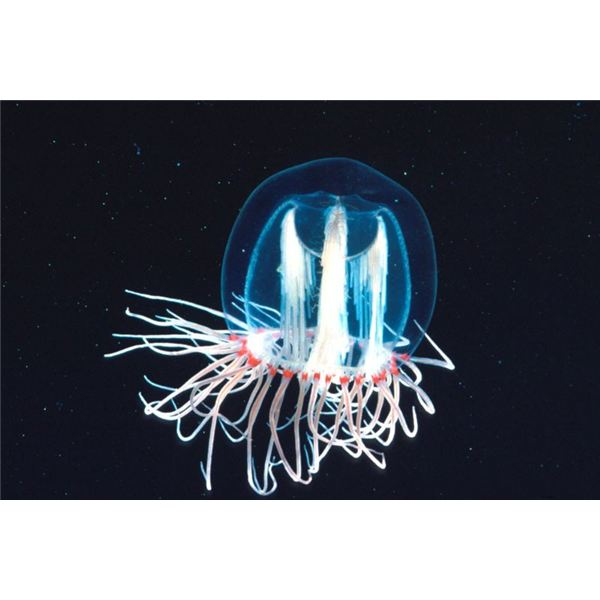 Jellyfish. Shane Anderson. Public Domain