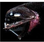 Deep-sea Fish, Photostomias Guernei