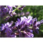 Lavender Is Soothing for Rosacea