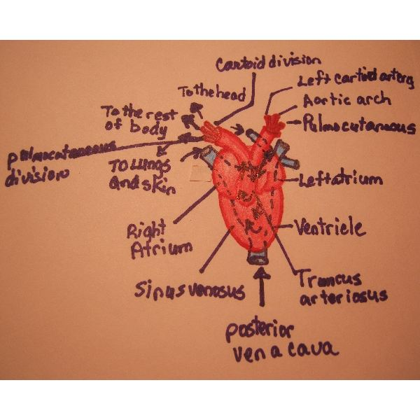 Science Homework A Detailed Diagram Of A Frogs Circulatory System