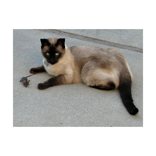 siamese with mouse