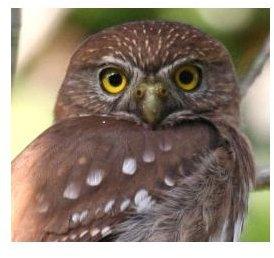 Ferruginous Pygmy Owl