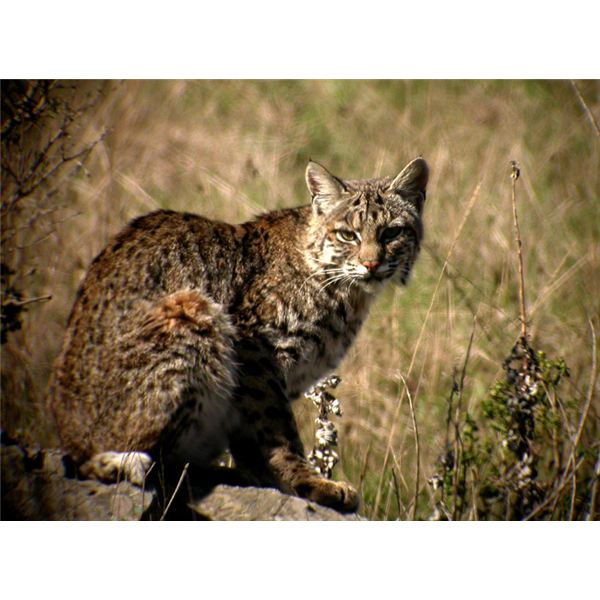 Bobcat Facts And Information: Facts About The National