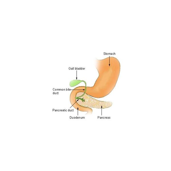Stomach, Gall Bladder, Pancreas, and Duodenum