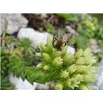 mid-Bee pollinating Sempervirum.ogv