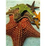 Starfish (Sea Stars)