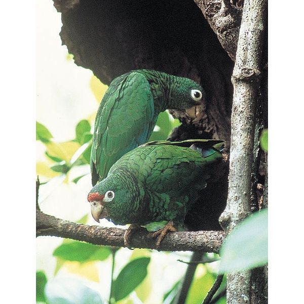 Puerto Rican Parrot Facts: Learn All About this Endangered Beauty