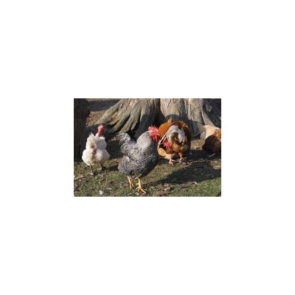 1163566 farmyard chickens