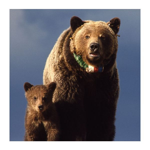 Female Grizzly Bear with Cub in Yellowstone National Park (mom wearing a radio neckband)