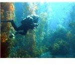 A scuba diver in a kelp forest