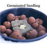 Germinated Seedling in Net Pot