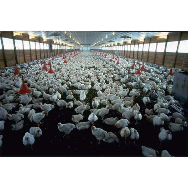 a commercial broiler (meat) chicken operation