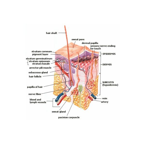Integumentary System Functions The Bodys Shield