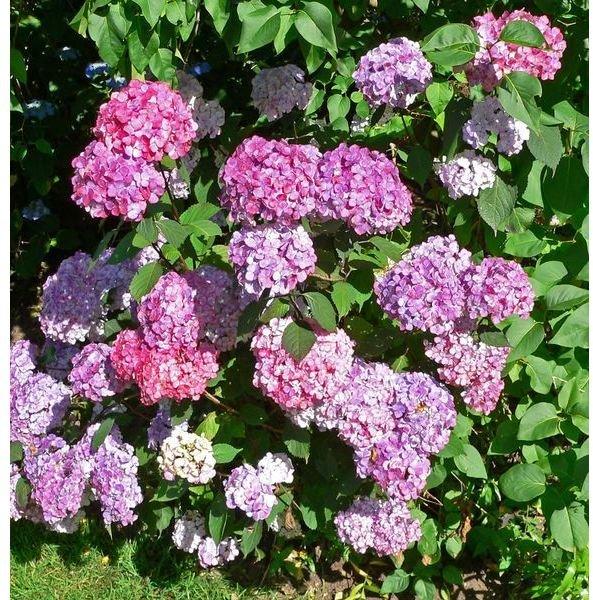 579px-Hydrangea serrata Preziosa 1
