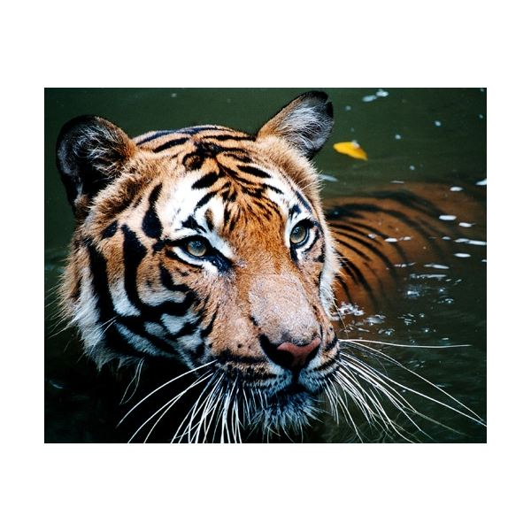 Unusual Tiger Facts: Learn About this Beautiful Creature