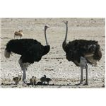 Ostriches with Babies