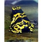 Dendrobates leucomelas (yellow-banded poison dart frog)