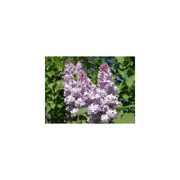 Lilac Essential Oil:  Learn the Basics and Uses of Lilac Essential Oils