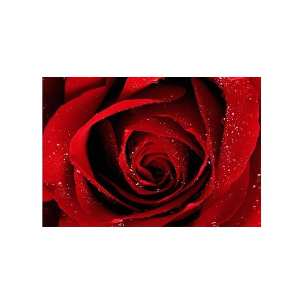 rose-backgrounds-red-rose-with-waterdrops