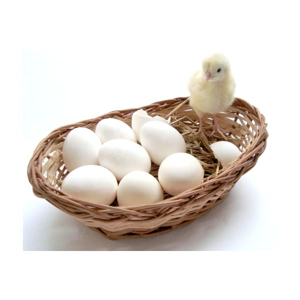 hatching chick