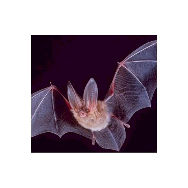 Square-townsend-fledermaus