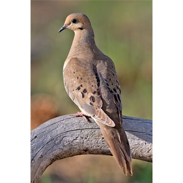 Understanding The Symbolism Of Mourning Doves