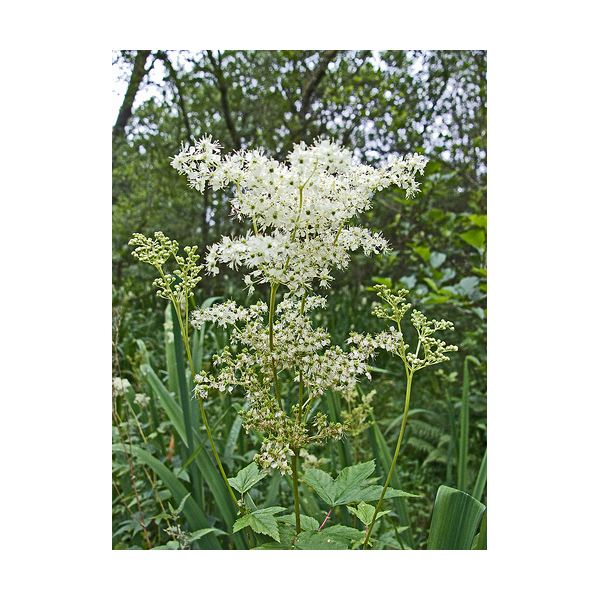 The Healing Benefits of Meadowsweet Herbs