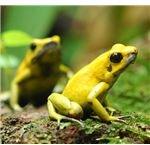 Phyllobates terribilis (the most toxic poison dart frog)