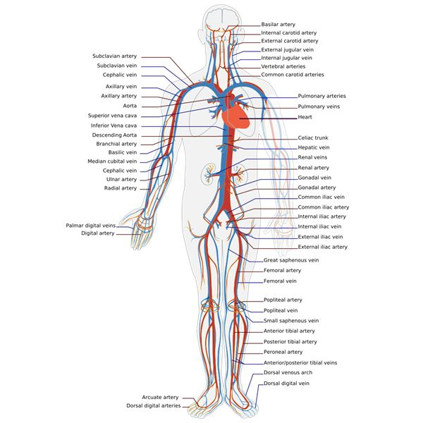 How Does The Circulatory System Work An Overview