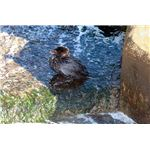800px-Oiled diving duck 2