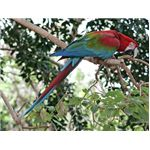 Macaw in a tree.tony hisgett.ccsa30.wikimedia