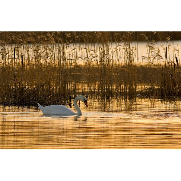 Mute swan in Finland sunrise
