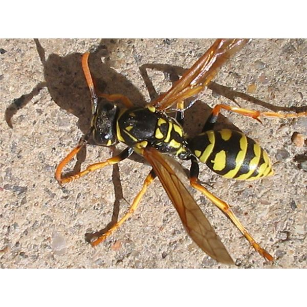 Treatment for a Yellow Jacket Sting