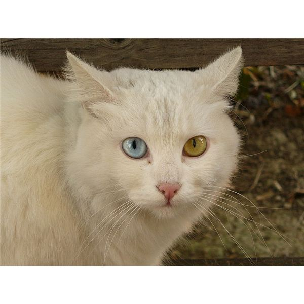 https://commons.wikimedia.org/wiki/File:Cat_Briciola_with_pretty_and_different_colour_of_eyes.jpg
