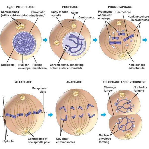 mitosis phases