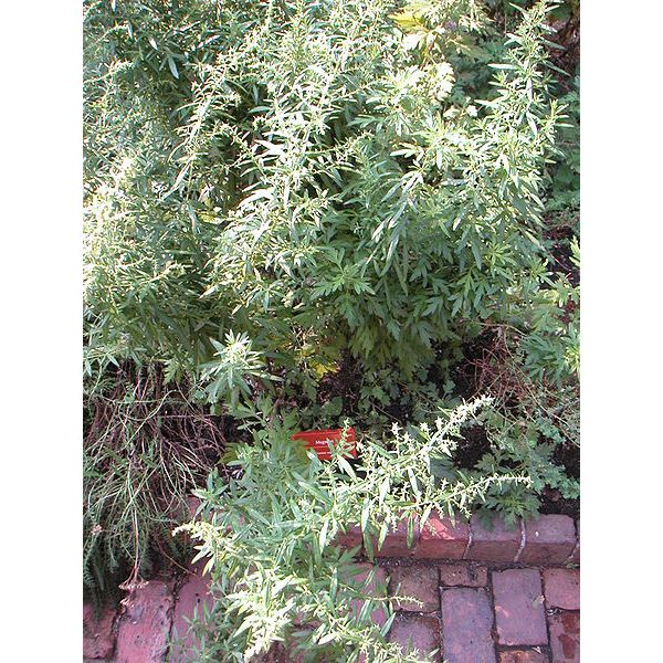 What Are the Health Benefits of Mugwort Tea?