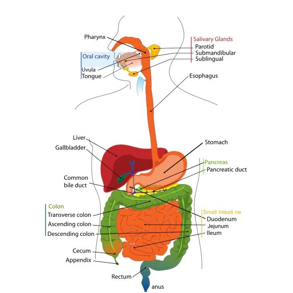 Functions Anatomy Of The Digestive System