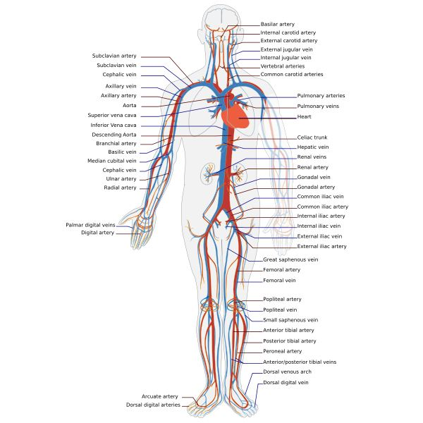 Blood Vessels and the Circulatory System: Arteries, Veins and Capillaries