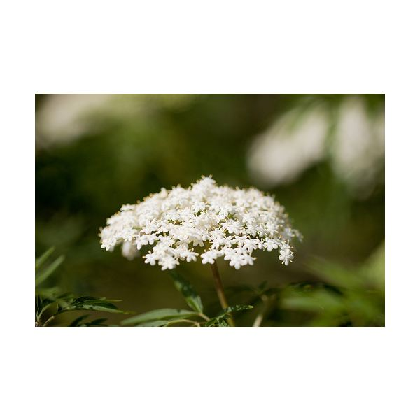 Beneficial Herbs for Hay Fever