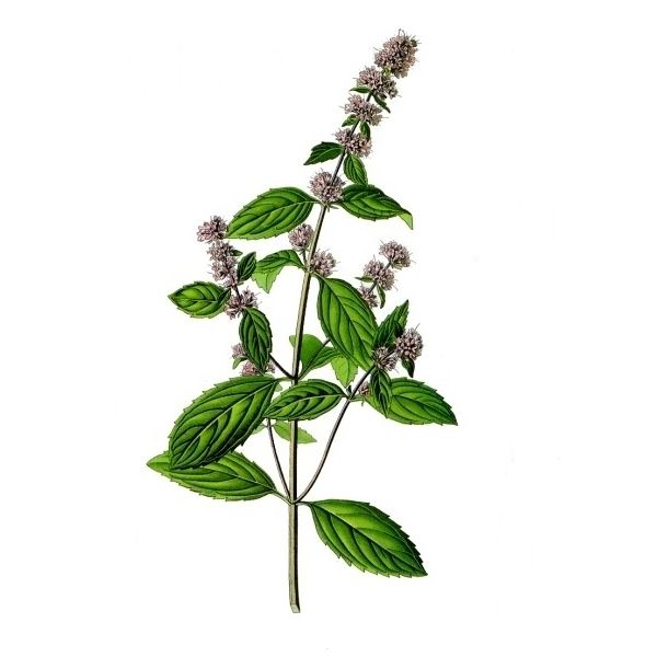Can I Drink Peppermint Herbal Tea When Pregnant?