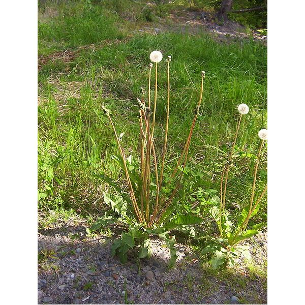 Edible Wild Plants--Dandelion