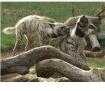 778px-Striped hyenas fighting