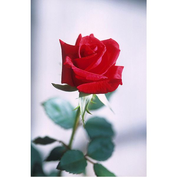 393px-Red rose