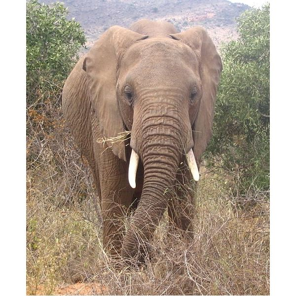 African Elephant Facts: Diet, Habitat, Behavior and More