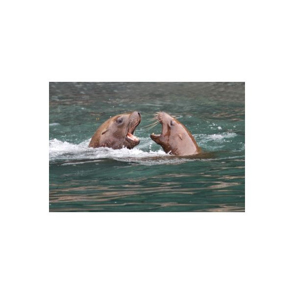 Sea Lions Argue Free Digital Photos