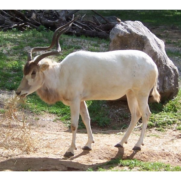 Addax nasomaculatus. One of the endangered species of the Sahara desert