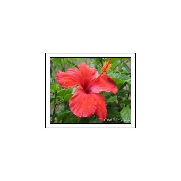 Red Hibiscus- Hawaiian Flower